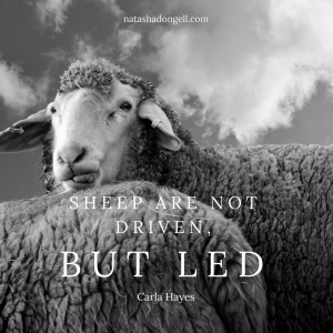 _Sheep are not driven (1)